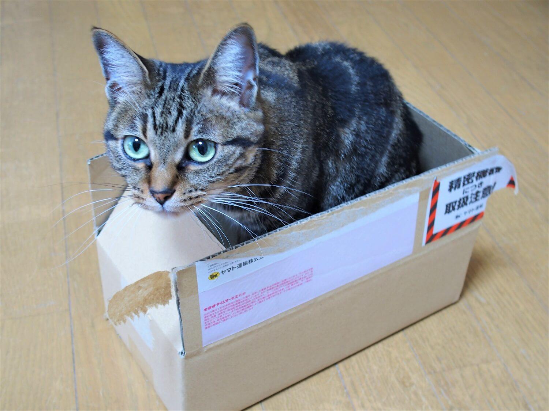 フィリップス ソニッケアーの箱に入った猫